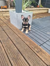 French Bulldog MALE pup