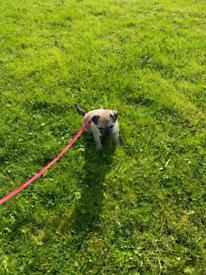 Pug dog for sale