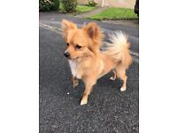 ***REDUCED***RESALE*** Stunning 12 month old Pomchi puppy (Pomeranian X Chihuahua)