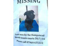 "Lost black Brussels griffon ""Pirate"" Hampstead Heath"