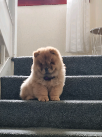 Beautiful female chow chow puppy forsale