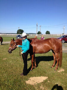 Registered quarter horse mare
