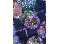 Zoa colony's for sale