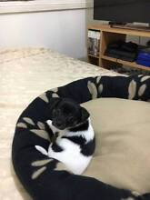 Chihuahua x Pomeranian x Jack Russell Puppy Canley Heights Fairfield Area Preview