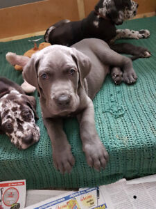 Great Dane Puppies ONLY 4 LEFT