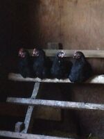 4 Black Australorp Roosters