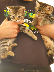 🐱🐱Beautiful tabby kittens 💕ready for new home .