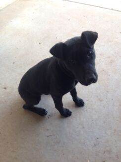 Need to find a home for a puppy Blackall Central West Area Preview