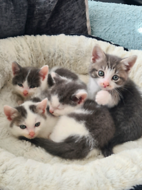 Grey Kittens ready to go Friday ( all have been reserved)