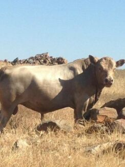 Bulls and cow for sale