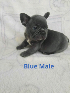 EXOTIC FRENCH BULLDOGS   2 left !
