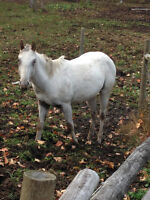 1 year old Registered few spot Appaloosa Filly