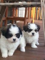 Shihpoo puppies ready to be rehome 2 LEFT
