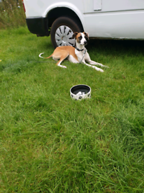 Bruno 2yr old male lurcher looking for a new home