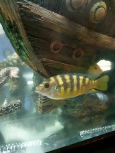 4.5 inch bumblebee cichlid