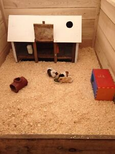 Lots of Guinea pigs for sale