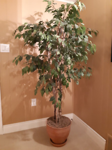 Artifical ficus tree