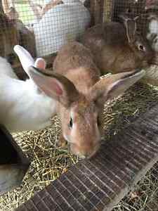 New Zealand white/red Rabbits