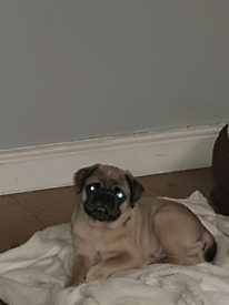 Rare Male pug 12 weeks old ready to go