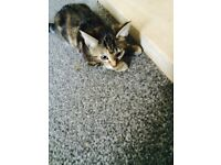 Beautiful tabby kitten!!