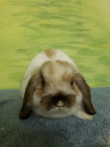 Holland Lop Bunnies looking for forever home!