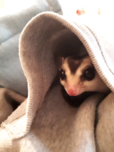 2 Friendly Sugar Gliders, Cage & Accessories