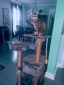 Bengal cat fixed and declawed