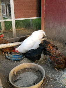 1- 10 month old white rock rooster