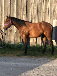 Athletic Thoroughbred Filly - For Sale