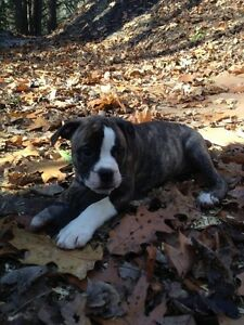 Beautiful American Bulldog Pups for sale Kitchener / Waterloo Kitchener Area image 1