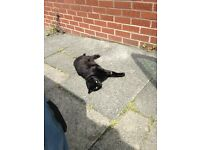 MISSING fully black male cat/ WESTON COYNEY AREA