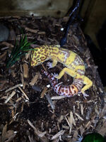 Leopard Gecko Pair (tank included)