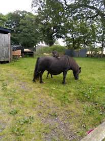 Horses and ponies for sale in Scotland - Gumtree