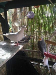 For sale White Doves $30each Canberra City North Canberra Preview