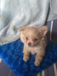 Chihuahua  Pups  For Sale  !