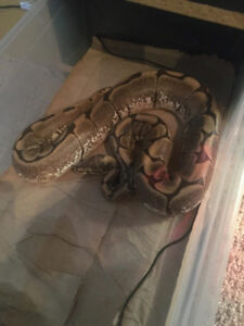 Spider ball python female