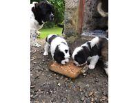 St Bernard X Newfoundland Puppies