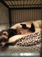 Ferrets looking for a home