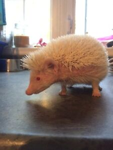 Female albino hedgehog