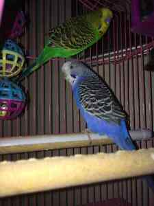 Female and male one year old budgie birds