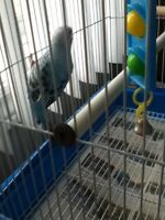 6 Months Old Baby Male Budgie