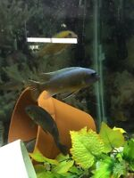 African Cichlids - Free to a good home