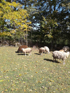 sheep / lamb for sale