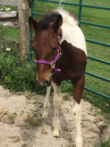 Yearling filly APHA horse for sale