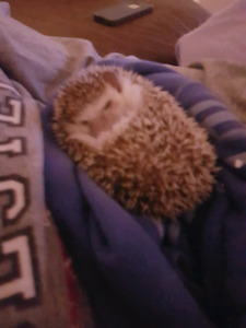 1 year old hedgehog with huge cage!!