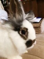 Wanting to breed my bunny!
