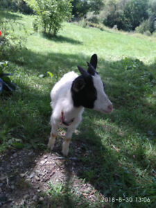Small sized pet  goat, male ,   5 months  old