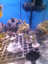 Neon Green Kenya coral tree marine coral frag aquarium tank