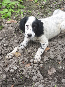 English setter puppy for sale