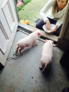Mini Micro Pigs - ONLY 3 LEFT Kitchener / Waterloo Kitchener Area image 3